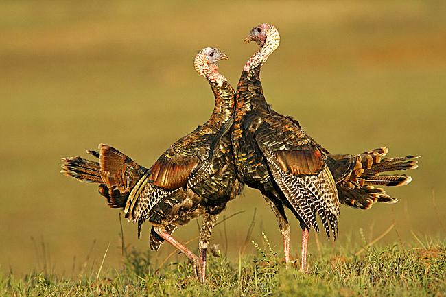 image via www.birdsofoklahoma.net