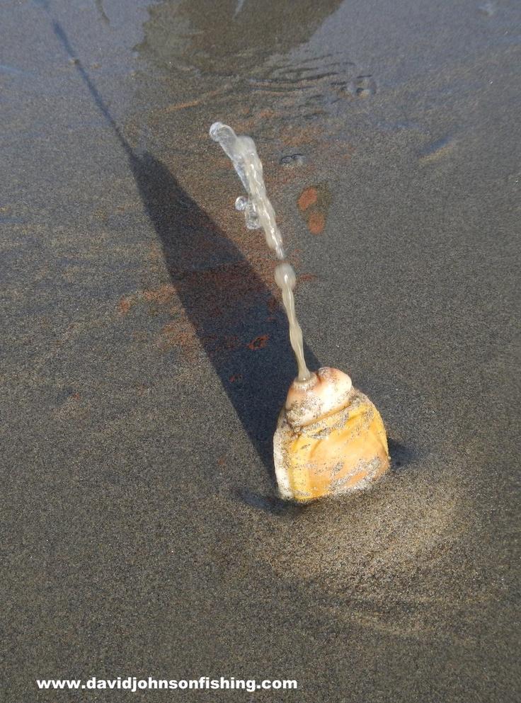 clam digger