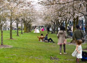 LIVING UNDER A PORTLAND CHERRY BLOSSOM CANOPY FOR AN AFTERNOON